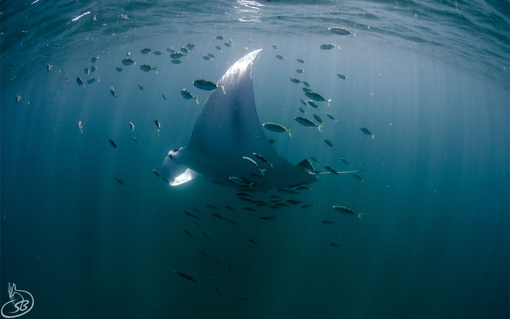 Manta Rays feeding in the Exmouth Gulf