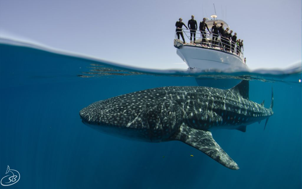 Swimming with Whale Sharks in the Ningaloo Marine Park