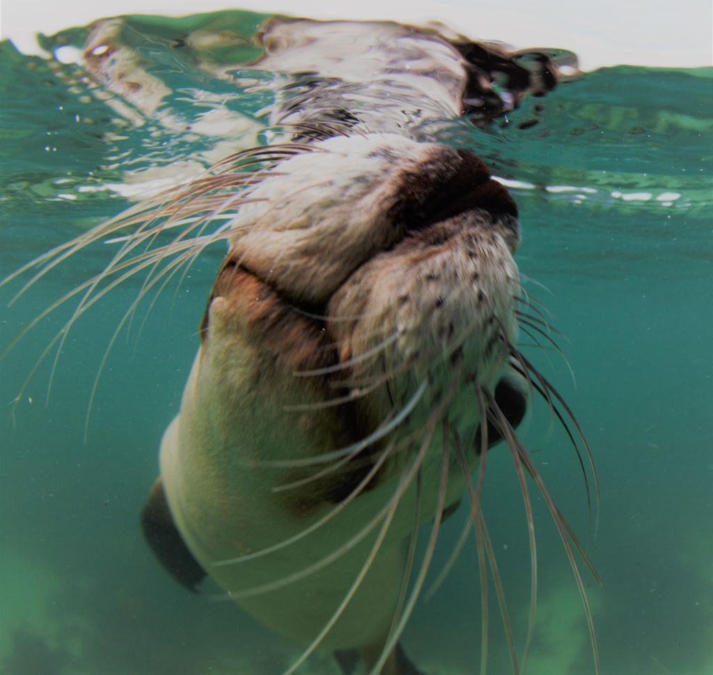 Sea Lion Jurien BayAussie Marine Adventures