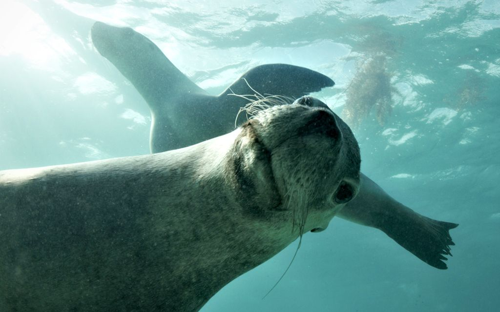 Sea Lion Jurien Bay Aussie Marine Adventures