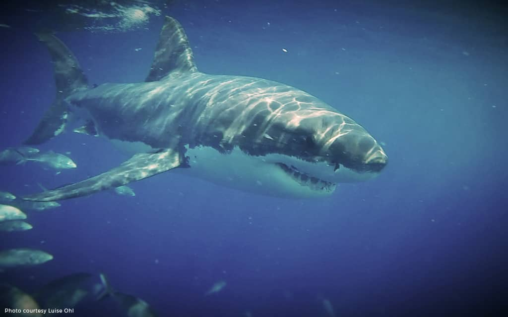 Great White Shark Cage Diving – Port Lincoln, South Australia
