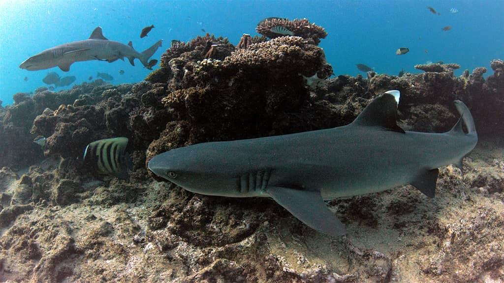 aussie marine adventures scuba diving lighthouse exmouth white tip reef shark